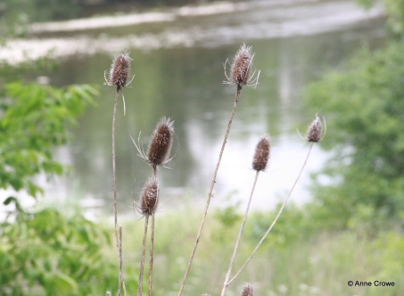 Grand River Teasles